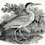 woodengraving_blueHeron